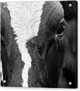 Eyes Of The Cow Acrylic Print