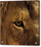 Eyes Of The Lion Color Acrylic Print