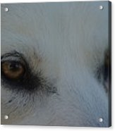 Eyes Of The Wolf - In Her Eyes Acrylic Print