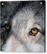 Eyes Of The Wolf Dog Acrylic Print
