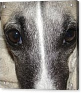 Eyes Whippet Acrylic Print by Marie-france Quesnel