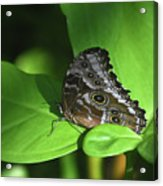 Eyespots On The Closed Wings Of A Blue Morpho Butterfly Acrylic Print