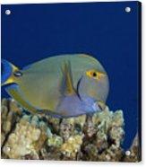 Eyestripe Surgeonfish Acrylic Print by Dave Fleetham - Printscapes