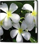 F1 Plumeria Frangipani Flowers Hawaii Acrylic Print