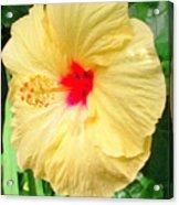 F12 Yellow Hibiscus Acrylic Print