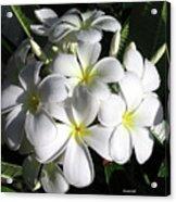 F13-plumeria Flowers Acrylic Print
