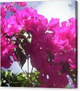 F15 Bougainvilleas Flowers Acrylic Print