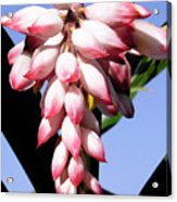 F16 Shell Ginger Flowers Acrylic Print