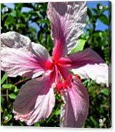 F17 Pink Hibiscus Acrylic Print