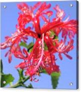 F18 Hawaiian Hibiscus Acrylic Print