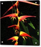 F19 Heliconia Flowers Hawaii Acrylic Print
