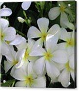 F2 Plumeria Frangipani Flowers Hawaii Acrylic Print