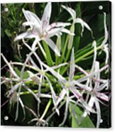 F3 Queen Emma Lily Acrylic Print