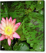 F6 Water Lily Acrylic Print