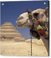 Face Of A Camel In Front Of A Pyramid Acrylic Print