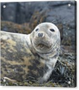 Face Of A Gray Seal Acrylic Print