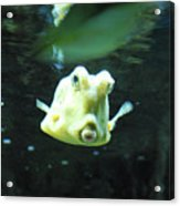 Face Of A Horned Boxfish Swimming Underwater Acrylic Print