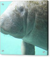 Face Of A Manatee Swimming Underwater Acrylic Print