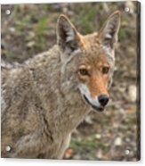 Face Of The American Coyote Acrylic Print