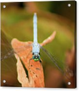 Face Of The Dragon Acrylic Print