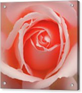 Faded - Perfect Pink Rose Acrylic Print