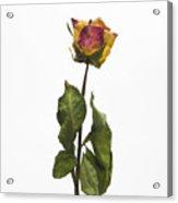 Faded Rose Flower Acrylic Print