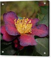 Fading Camellia Acrylic Print