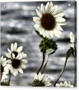 Fading Sunflowers Acrylic Print