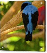 Fairy Bluebird Male Digital Oil  Acrylic Print