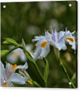 Fairy Iris 2 Acrylic Print