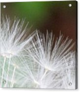Fairy Wings Acrylic Print