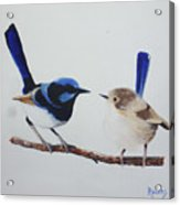 Fairy Wrens - I Love You Too  Acrylic Print