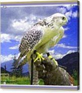 Falcon Being Trained H A With Decorative Ornate Printed Frame. Acrylic Print
