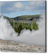 Falcon Over Old Faithful - Geyser Yellowstone National Park Wy Usa Acrylic Print by Christine Till