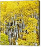 Fall Aspen Meadow Acrylic Print