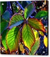 Fall Blackberry Acrylic Print