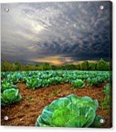 Fall Cabbage Acrylic Print