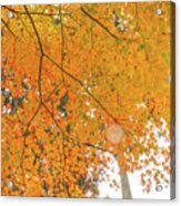 Fall Color Maple Leaves At The Forest In Aichi, Nagoya, Japan Acrylic Print