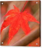 Fall Color Maple Leaves At The Forest In Kamakura, Kanagawa, Jap Acrylic Print