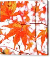Fall Color Maple Leaves At The Forest In Kumamoto, Japan Acrylic Print