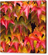 Fall Colored Ivy Acrylic Print
