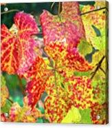 Fall Colors At The Vineyard Acrylic Print