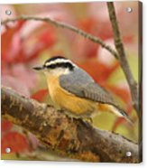 Fall Colors Nuthatch Acrylic Print