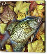 Fall Crappie Acrylic Print