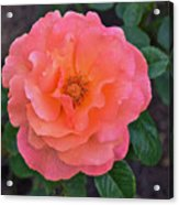 Fall Gardens Full Bloom Harvest Rose Acrylic Print