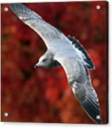 Fall Gull Acrylic Print