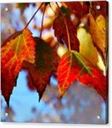 Fall In Maple Ridge Acrylic Print