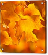 Fall Maple Leaves Acrylic Print