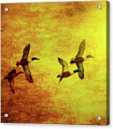Fall Migration . Northern Shovelers . Texture . 40d5393 Acrylic Print