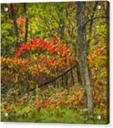Fall Sumac Trees With Red Leaves In A Michigan Forest During Autumn Acrylic Print